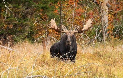 Moose have a small natural habitat.