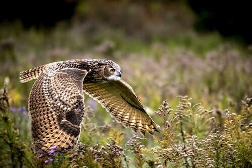 Eurasian Eagle-Owl: Characteristics, Behavior and Habitat