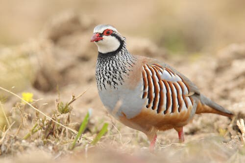 The Breeding and Reproduction of Partridges