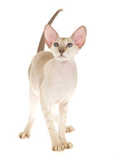 The appearance of the Peterbald.