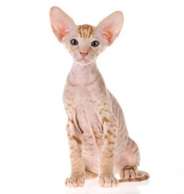 All About the Peterbald Cat Breed