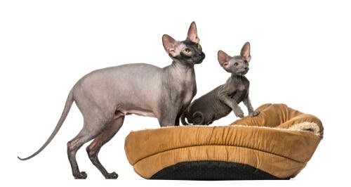 How to care for Peterbald cats.