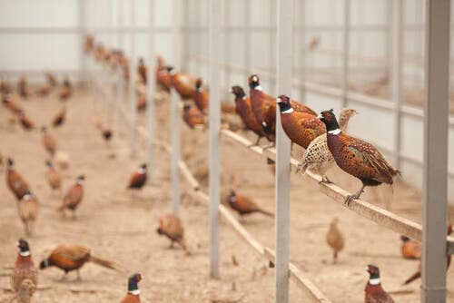 Pheasants living in captivity.