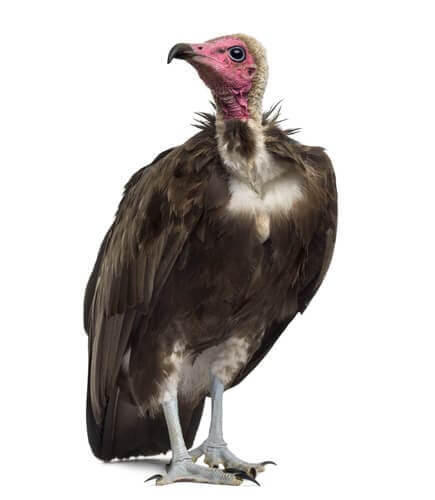 The physical features of vultures.