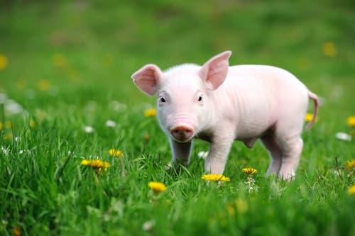 A piglet in a field.