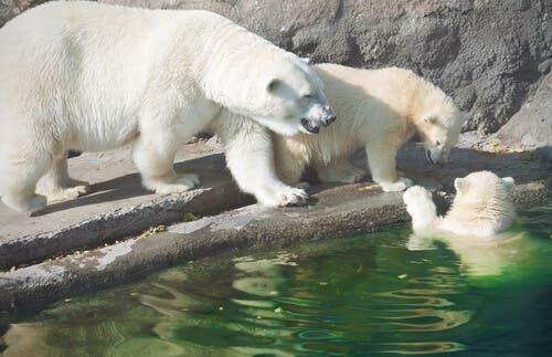 Polar bears in a zoo.