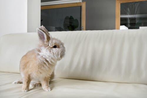 A dwarf rabbit on a sofa.