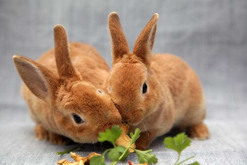 A pair of rabbits eating.