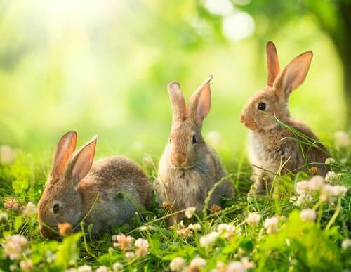 Three rabbits in a field.