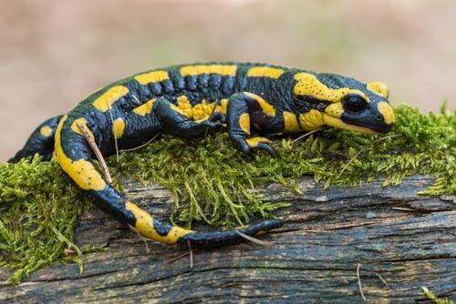 Salamanders and lizards are not both reptiles.