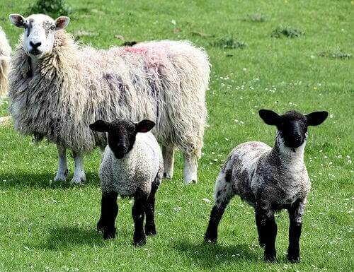 A picture of a sheep and its two little lambs.