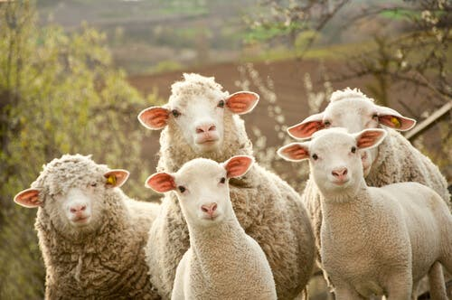 Breeding Sheep: All You Need to Know