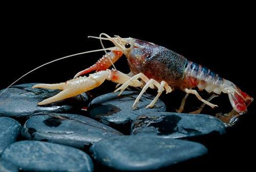 A shrimp.