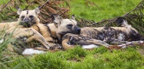 African wild dogs sleeping.