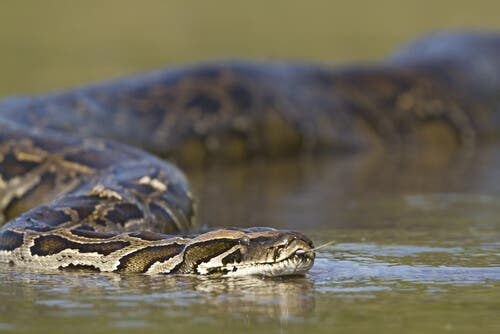 A large snake in the water.