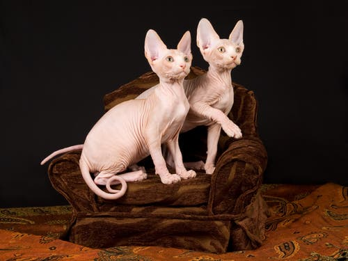 A photo of two cats with no hair.