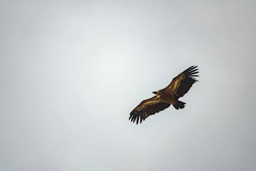 A vulture in the sky.