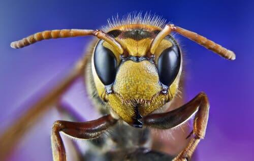 A wasp's face.