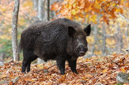Breeding wild boars requires lots of space.