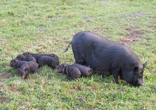 A wild boar and piglets in a field.