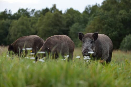 Breeding Wild Boars Domestically