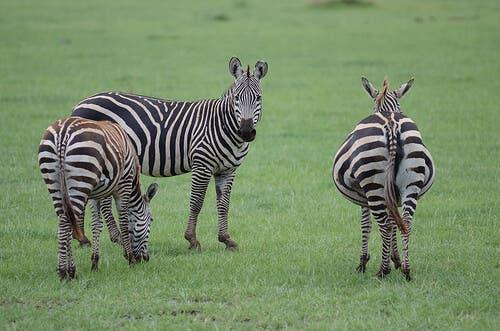 Three zebras grazing in a field.