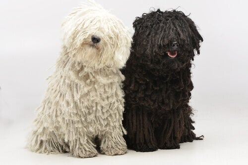 A black and white puli next to each other.