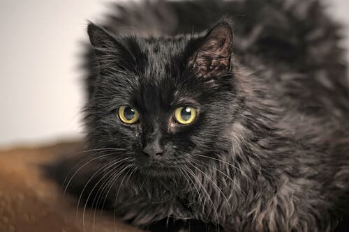 A black cat with thick fur.