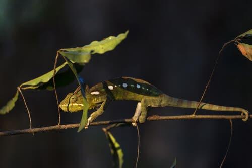 A chameleon on a branch.