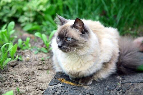 A cat with thick fur.