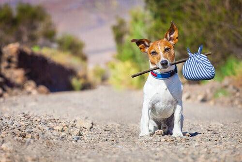 A dog with a rag tied around a stick.