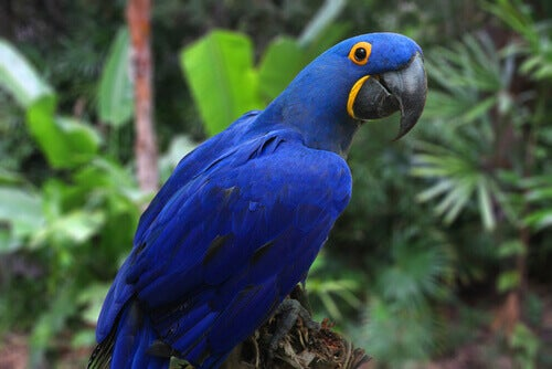A hyacinth macaw, which is one of the largest of the ara macaws.