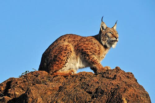 A lynx on top of a rock.