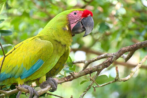 A military macaw on a branch.