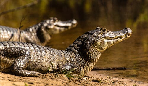 A pair of alligators.