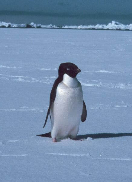 A penguin who lives in the Antarctica.