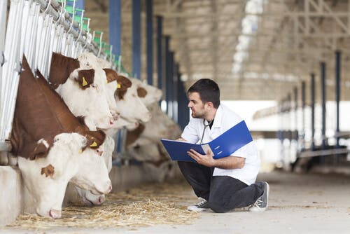 Characteristics of Displaced Abomasum in Cows