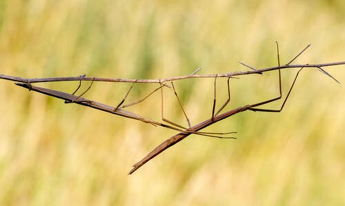 A walking stick bug.