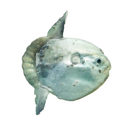 An ocean sunfish.
