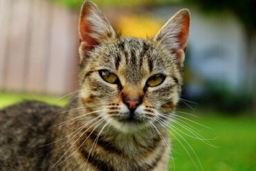 Learn All About the Asian Smoke Cat