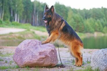 Caring for Your German Shepherd's Coat