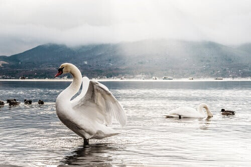 Swans in a lake.