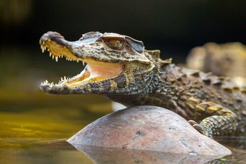 The American Alligator, a Silent Predator