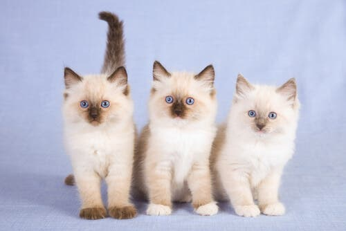 Three kittens looking at the camera.