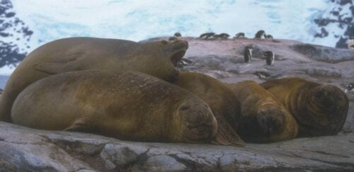 Three sea elephants at rest.