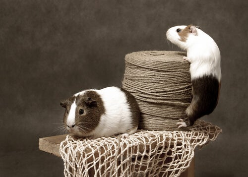 Two Guinea pigs on a pedestal.