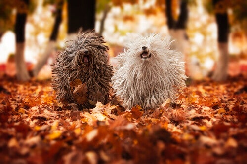 Two puli dogs running through the forest.
