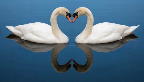 Two swans facing each other.