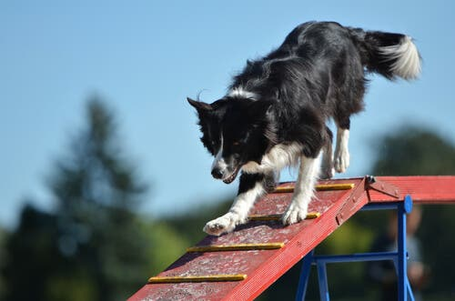 There are many activities for border collies in agility competitions.