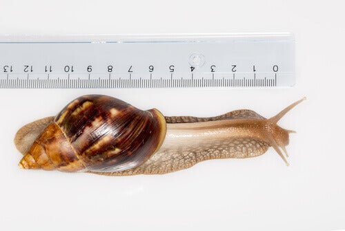 African giant snails are one species with harmful habits.